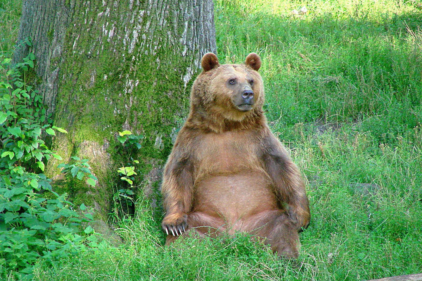 Bären-Grübelei