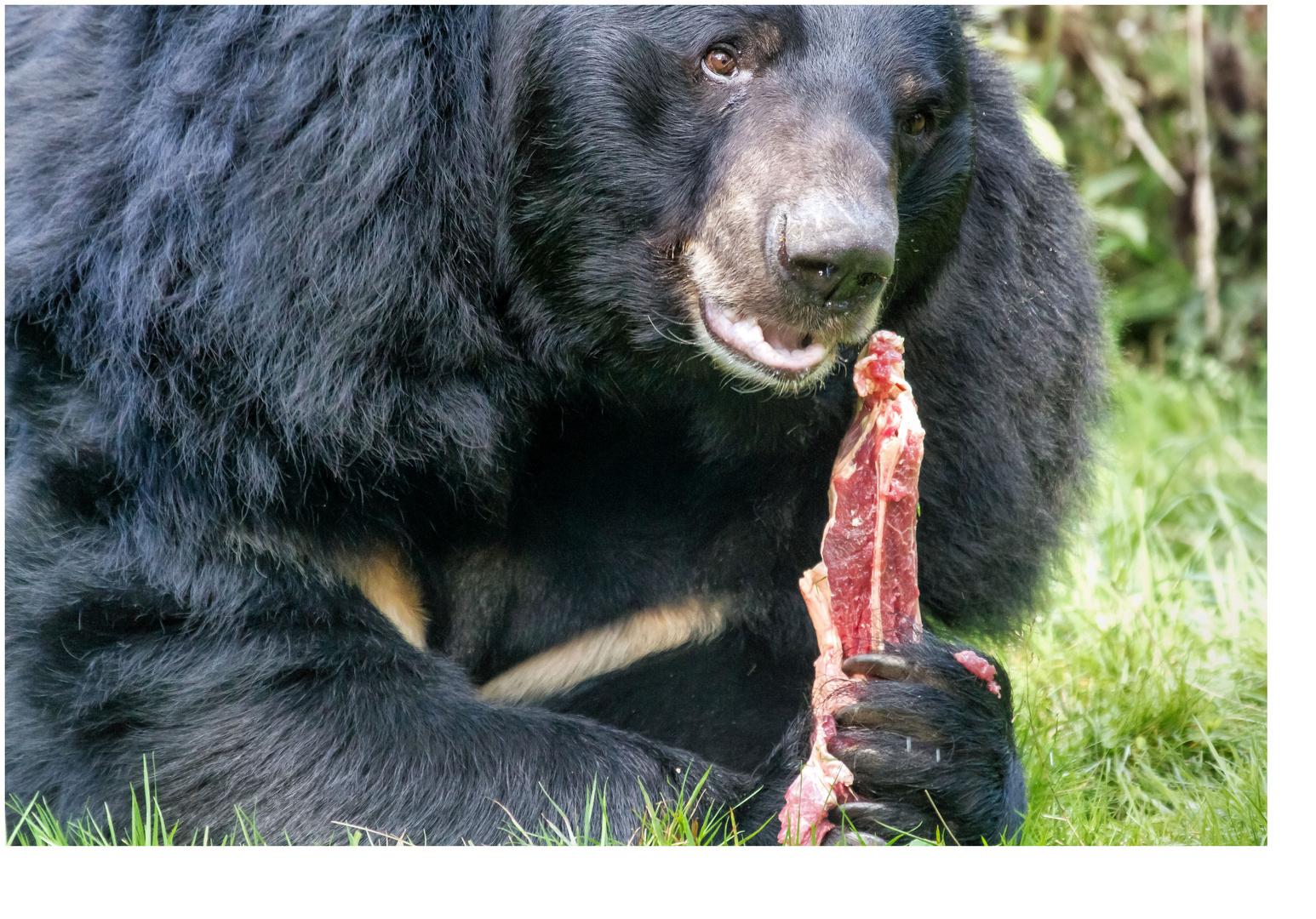 Bären IBF 01 - kein Eis am Stiel ! -