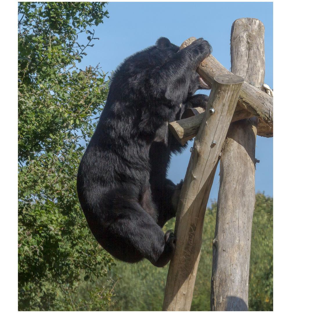 Bären IBF 02 - Abstieg / Aufstieg -