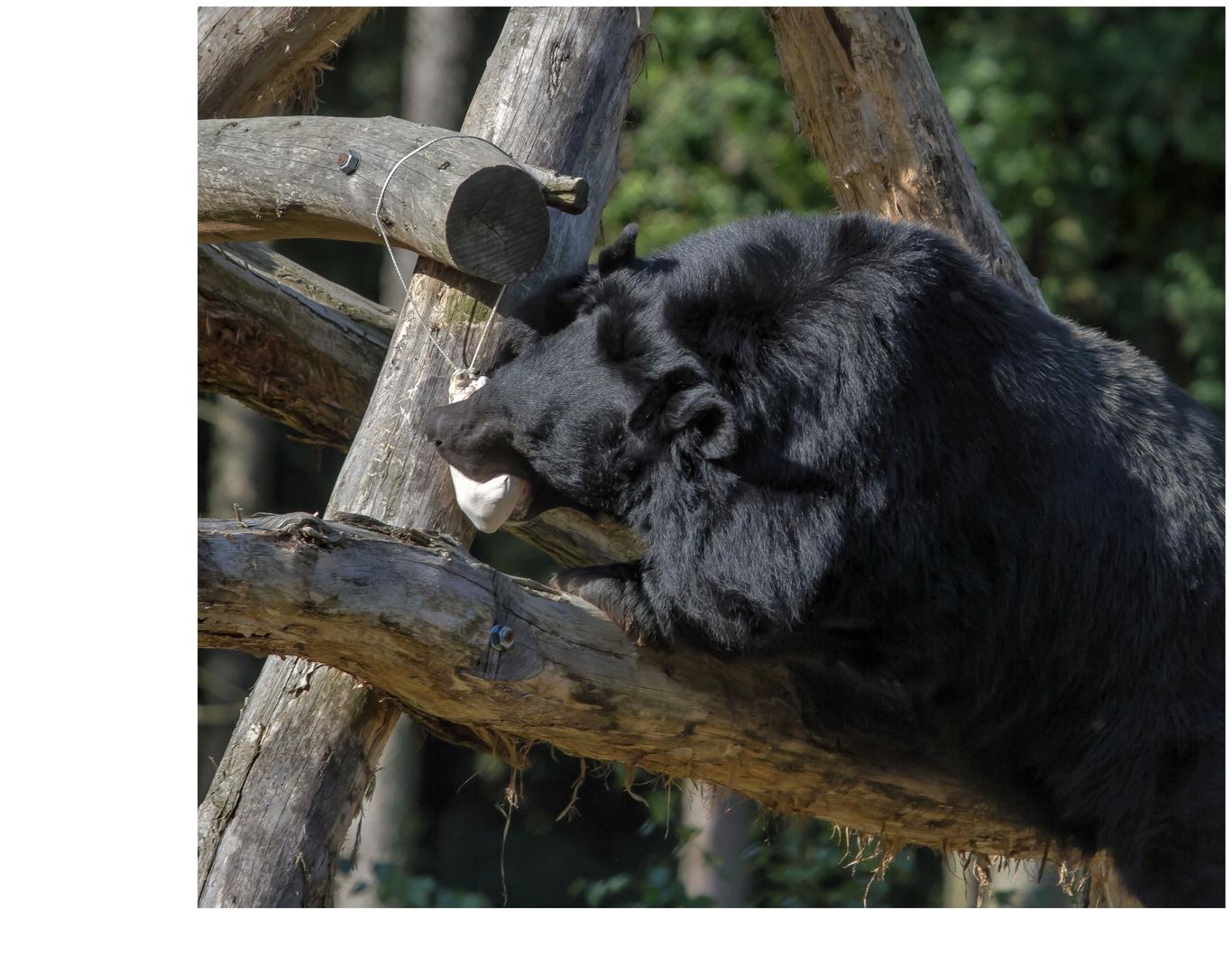 Bären IBF 04 - her damit !