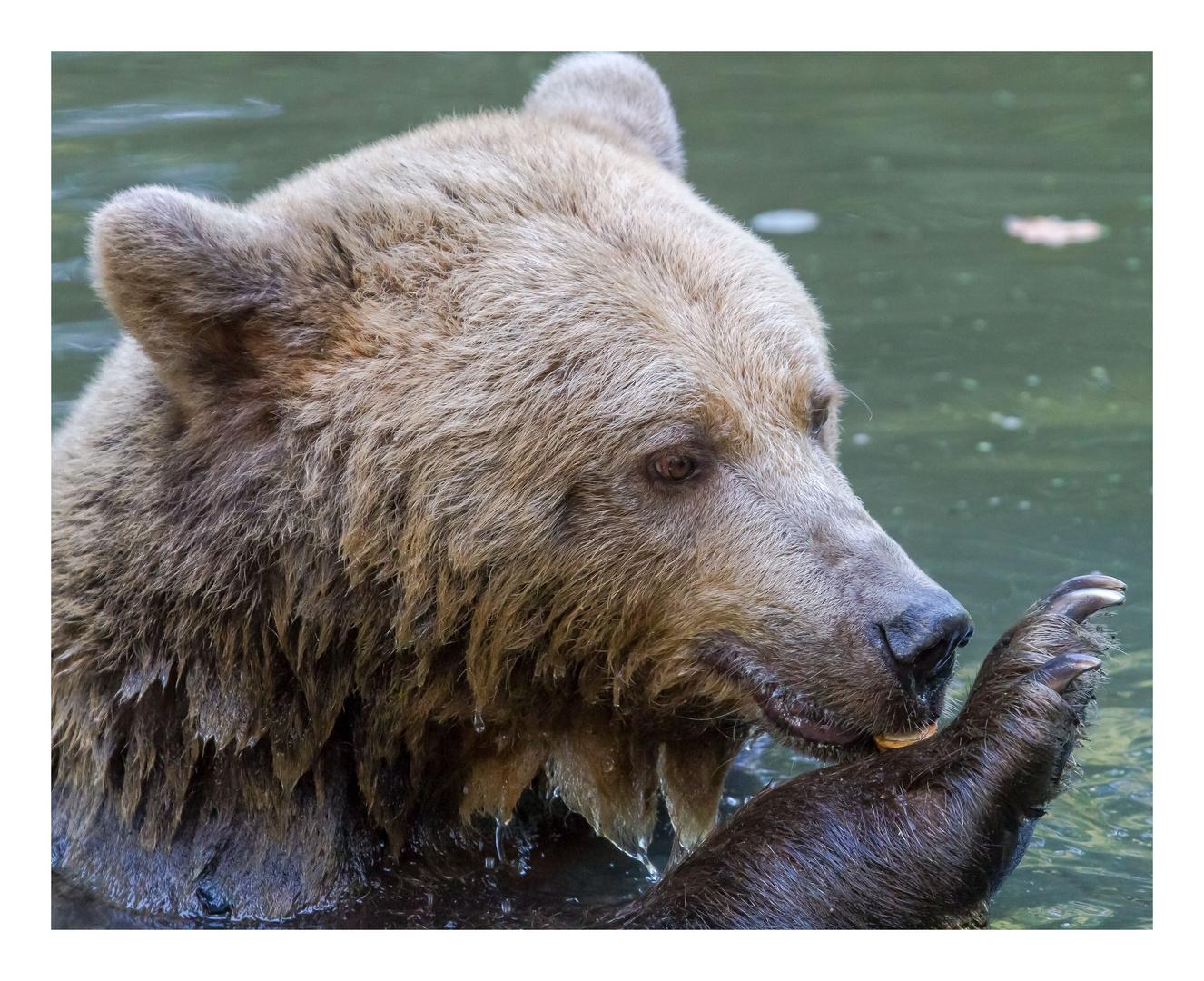 Bären IBF 08 - Nüsse -