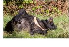 Bären IBF 09 - ruhen in der Sonne -