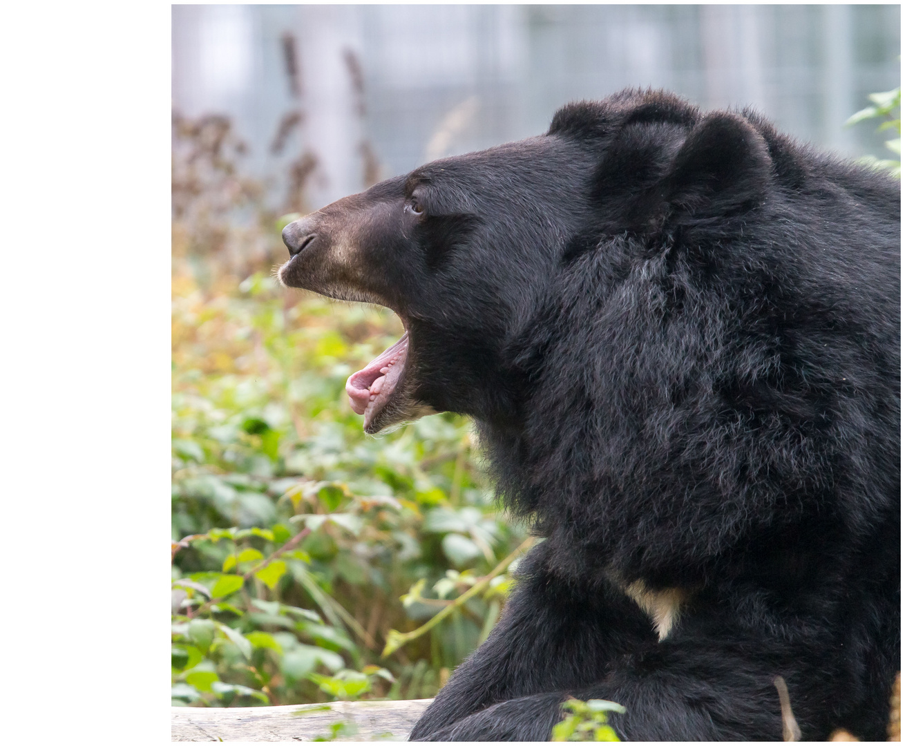 Bären IBF 10 - gähn -