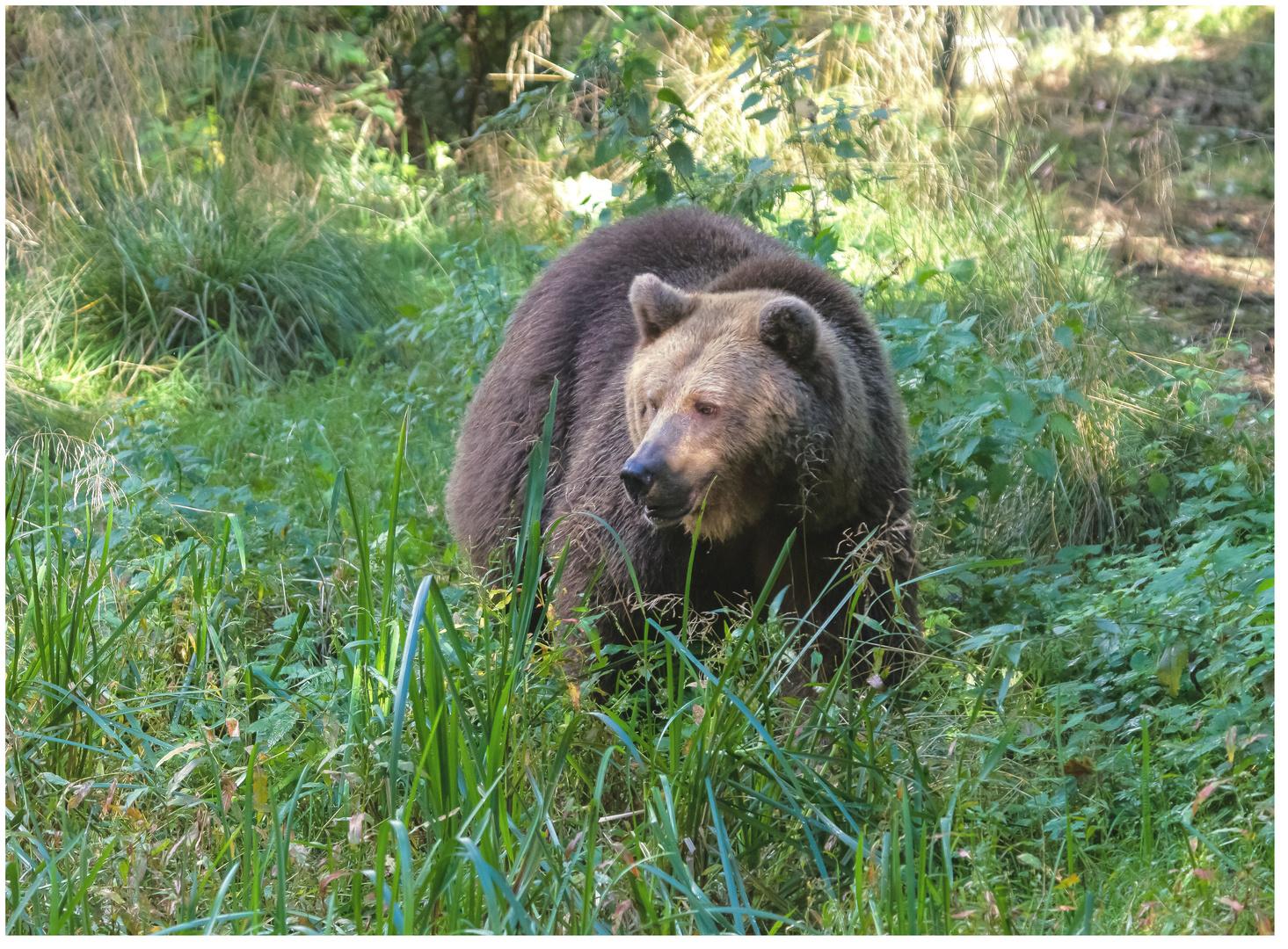 Bären IBF 12 - im Gelände -