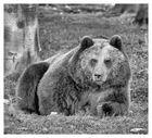 Bären IBF 15 -sw-