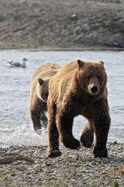 Bären in Bewegung
