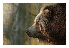 Bären Portrait