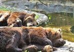 Bären - Siesta