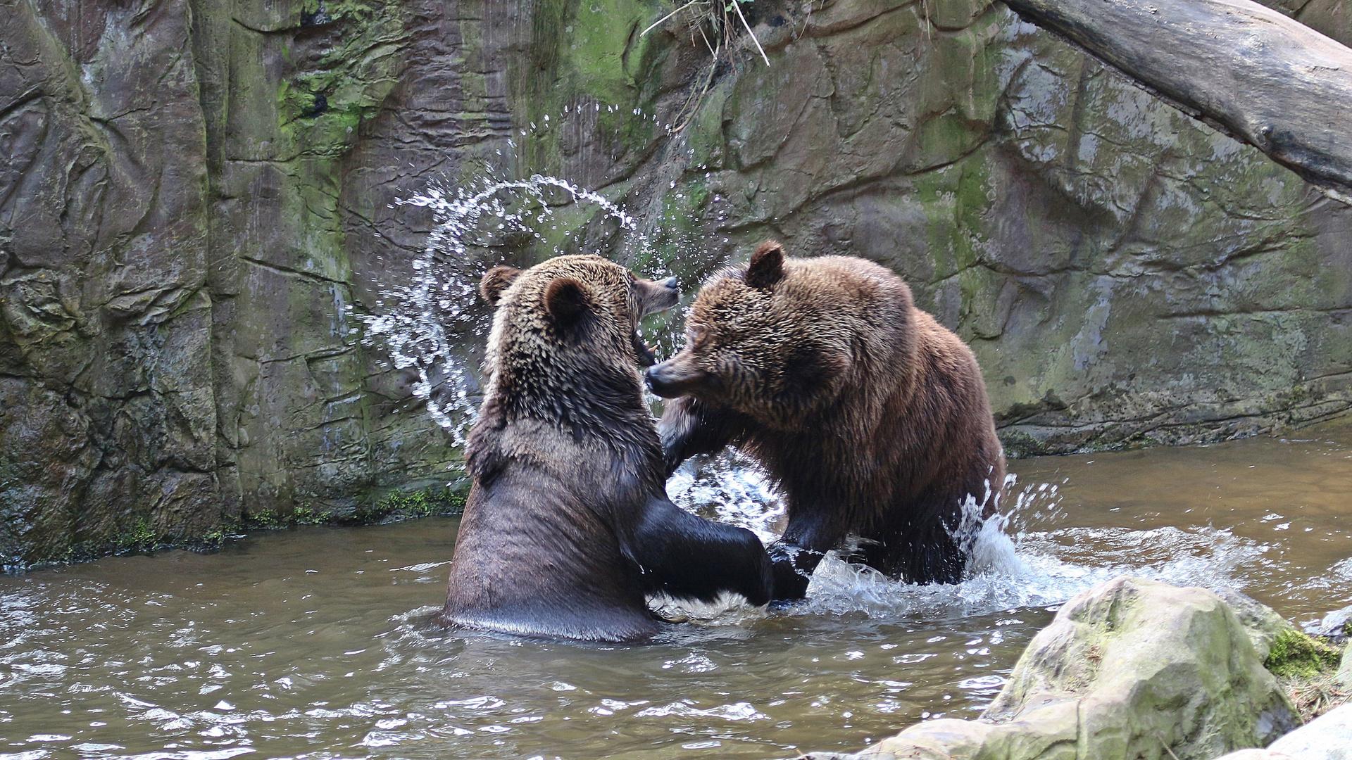 Bären Zoff