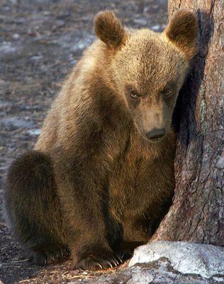 Bärenbaby