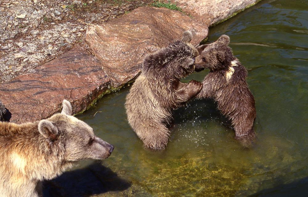 Bärenbalgerei