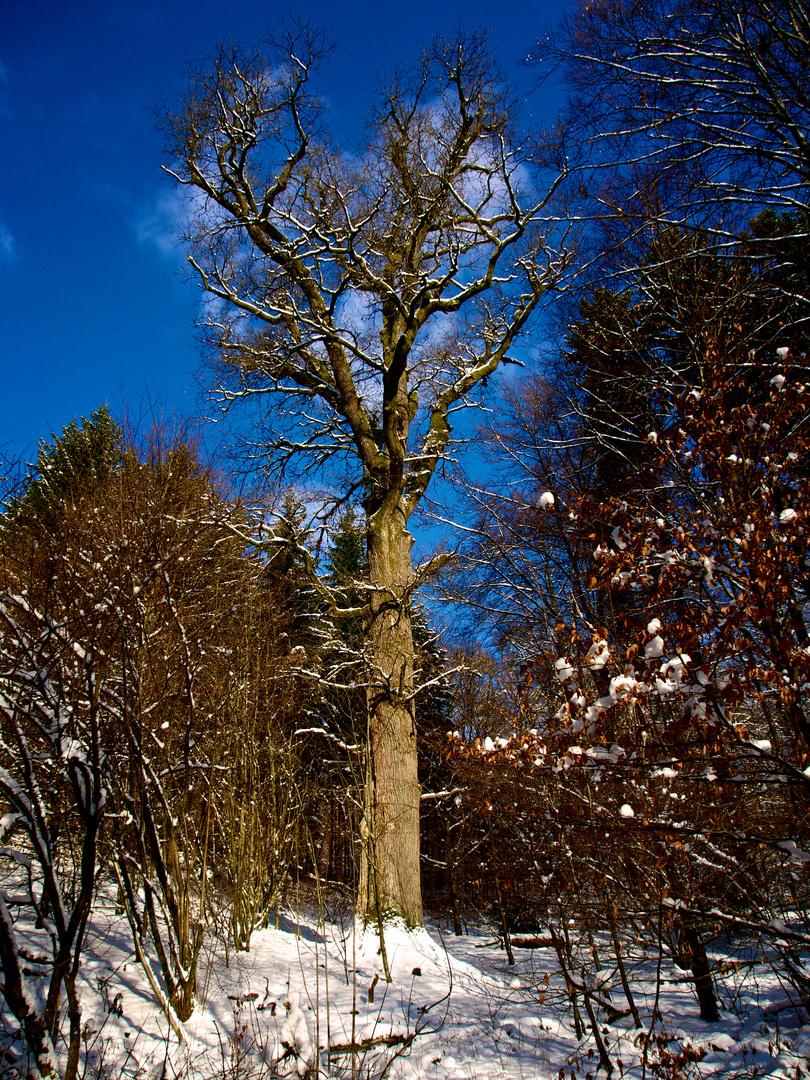 Bäreneiche - der älteste Baum des Siegerlandes, fast 675 Jahre alt