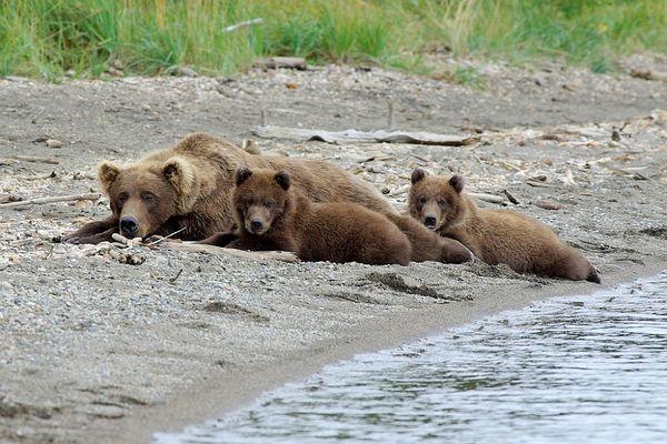 Bärenfamilie im Brooks Camp - Katmai Nationalpark - Alaska
