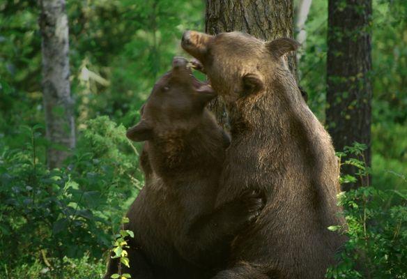 Bärenfight