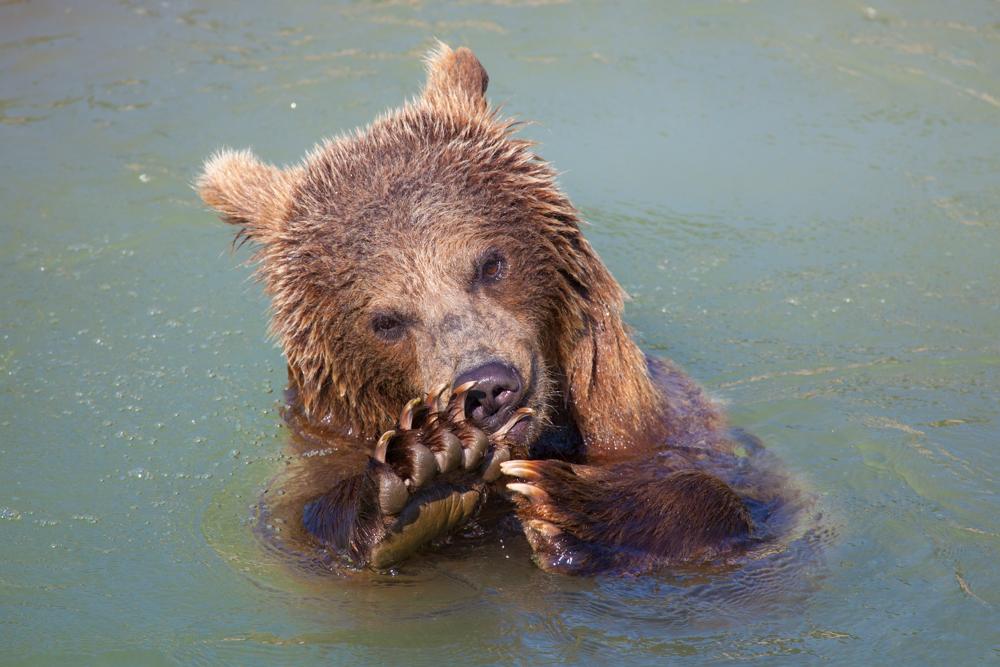 Bärenmanicure
