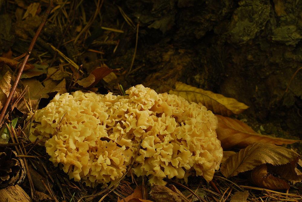 b rentatze foto bild pflanzen pilze flechten pilze flechten mai maschrums bilder auf. Black Bedroom Furniture Sets. Home Design Ideas