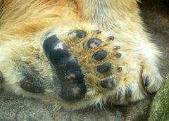Bärentatzen