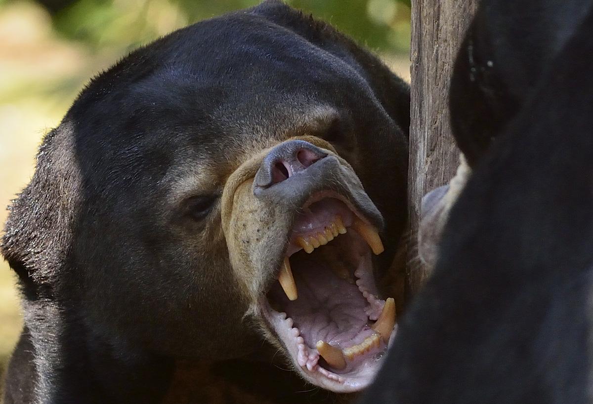 Bärenwut