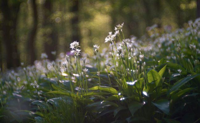 Bärlauch erblüht im Usenborner Wald