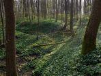 Bärlauch im Krahnbergwald