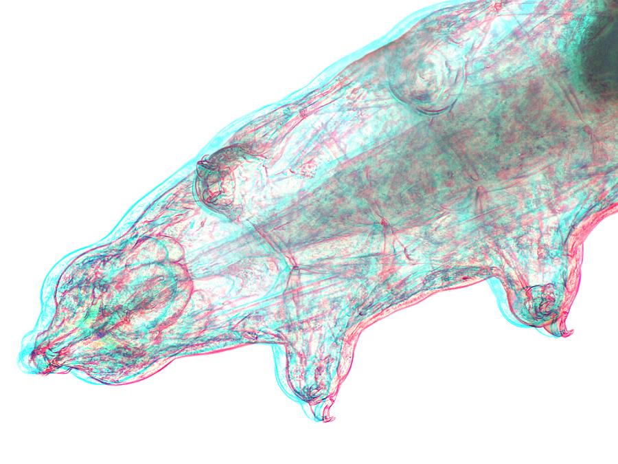 Bärtierchen Detail [3D]