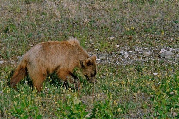 Bär(Yukon)