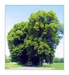 Bäume alte Allee 1