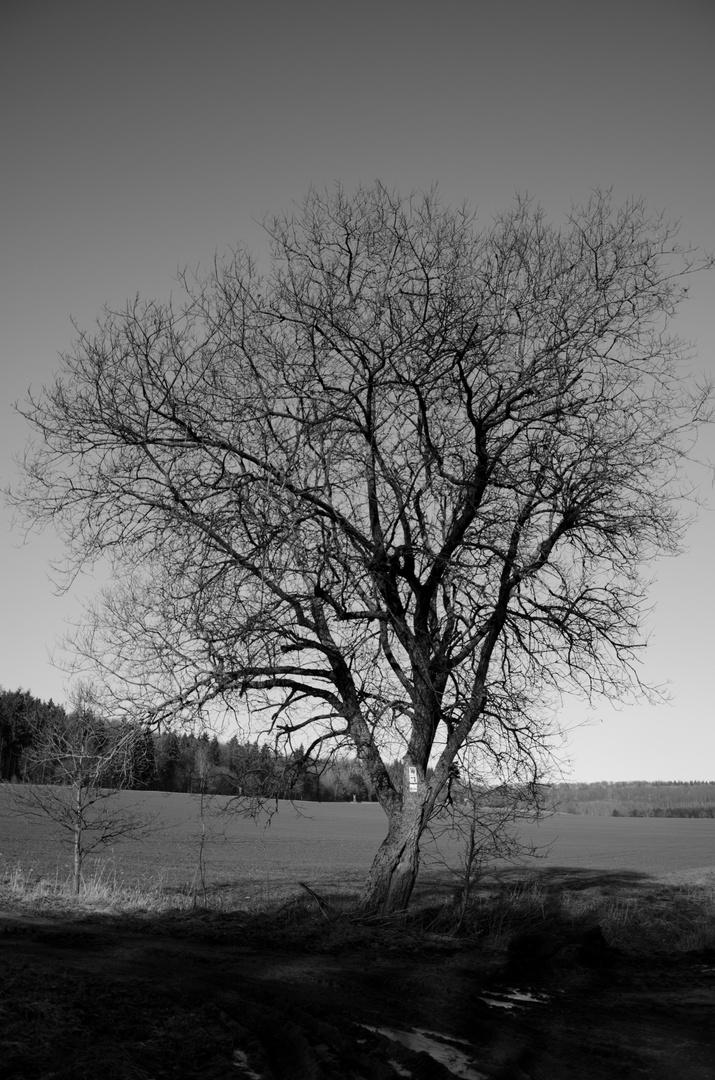 Bäume am Ackerrand