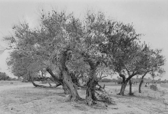 Bäume auf Djerba