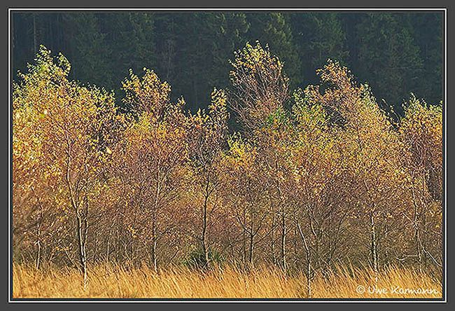 Bäume im Hohen Venn (01527)
