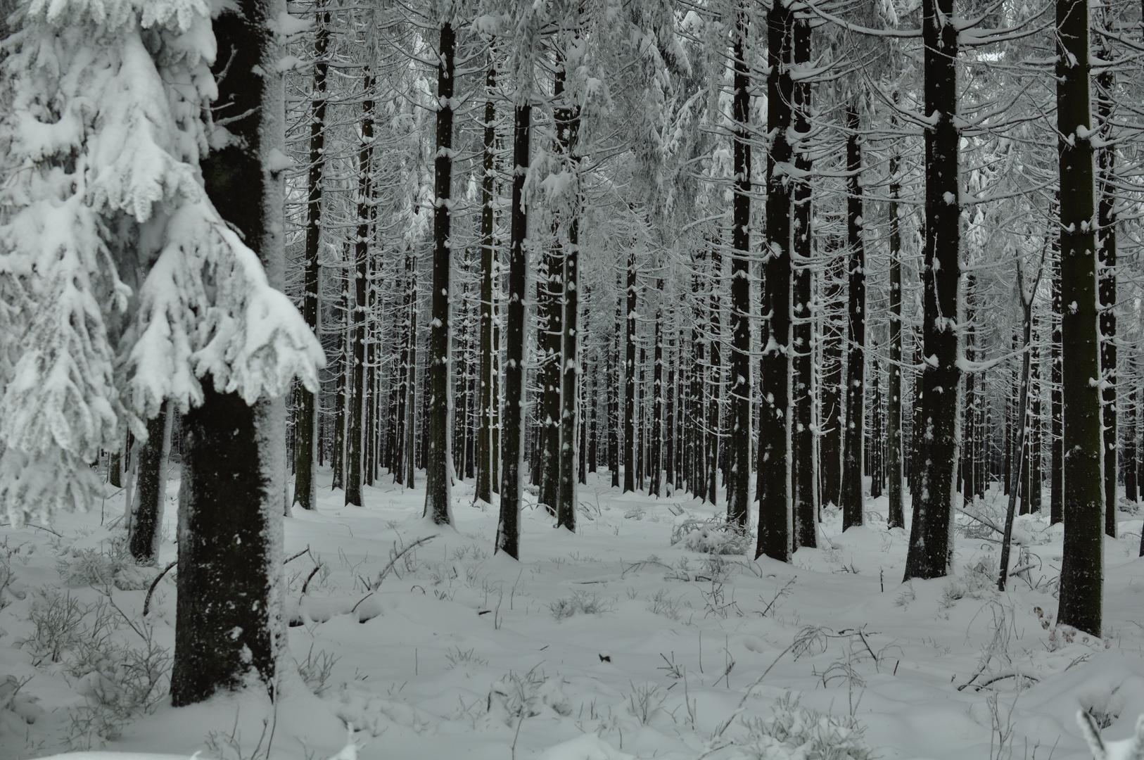 bäume im winter 1