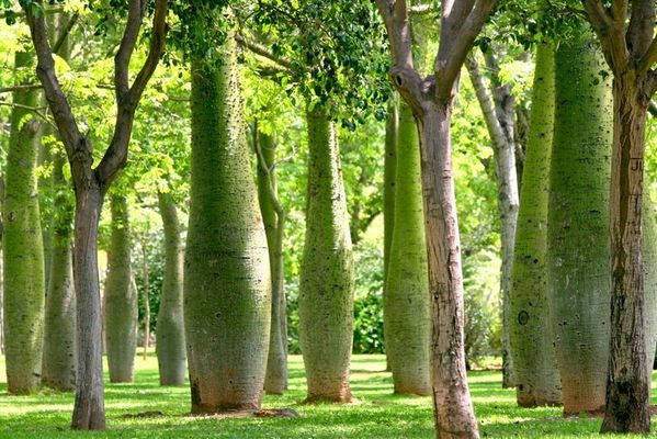 Bäume in Flaschenform im Garten von Valencia