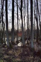 Bäume in Sumpf
