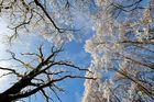 Bäume mit Rauhreif