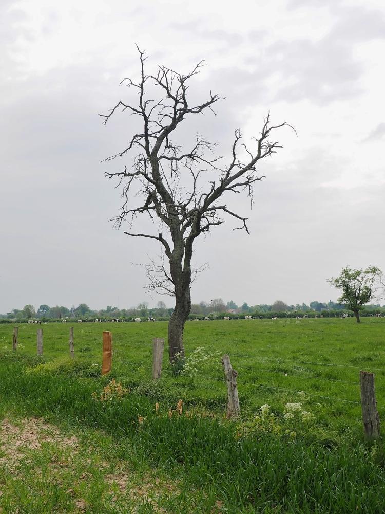 Bäume sterben im Stehen