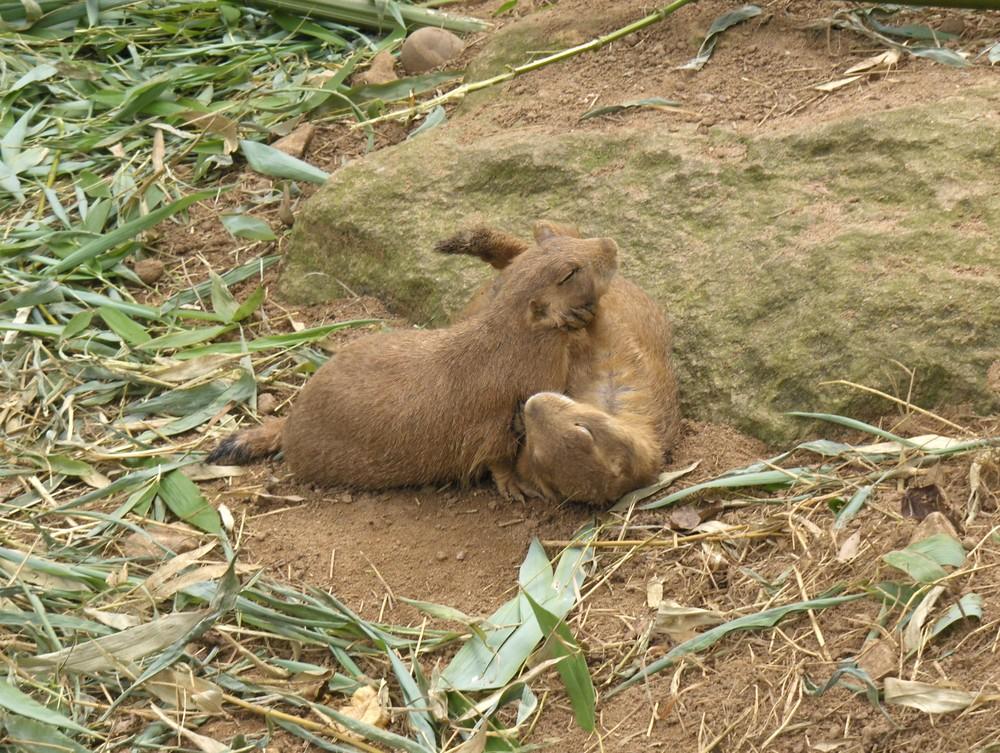 Bagarre entre deux chiens de prairie