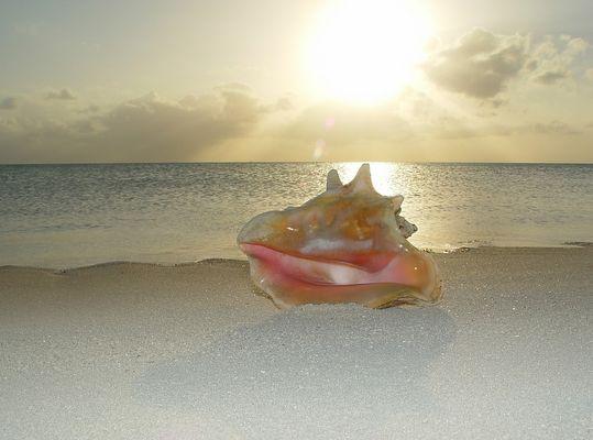 Bahamian Conc Shell