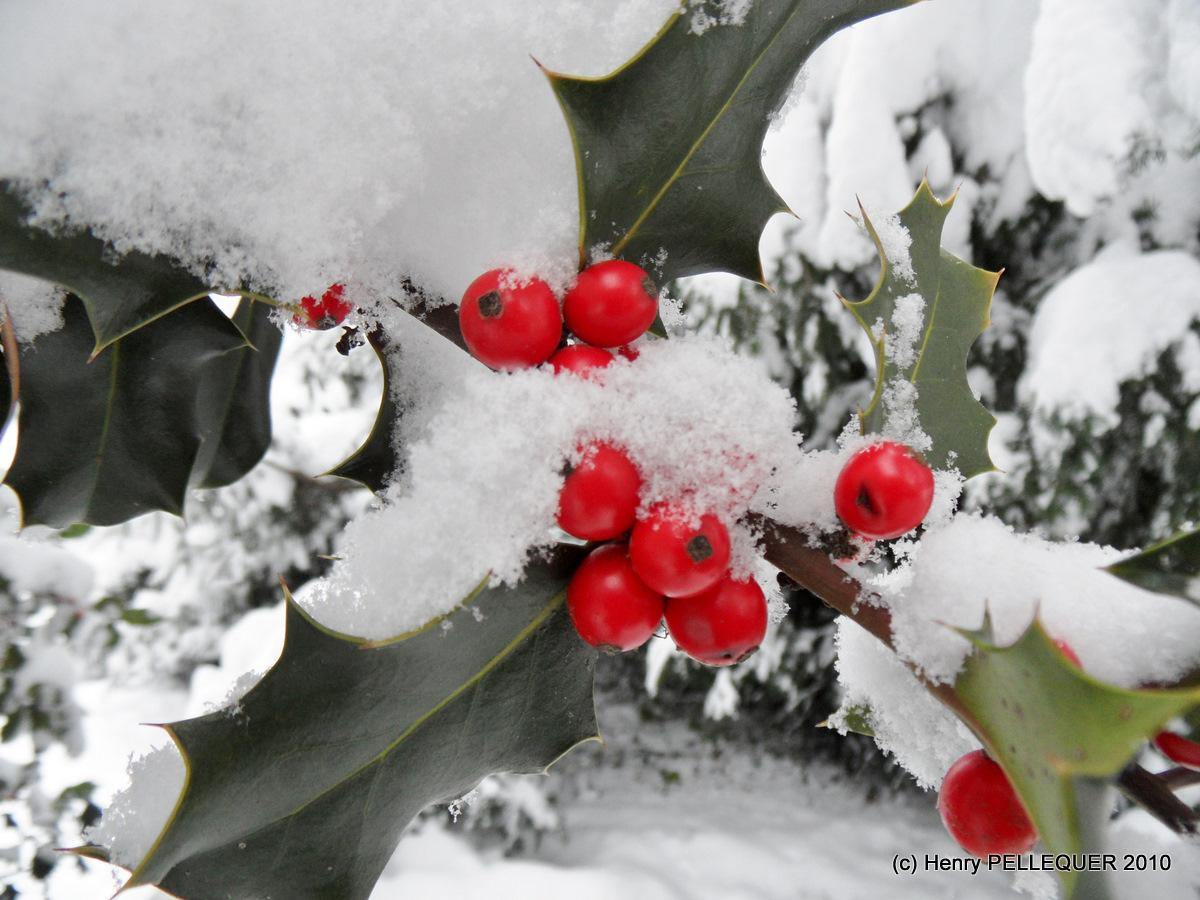 Baies de houx sur lit de neige