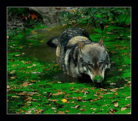 Bain de loup.