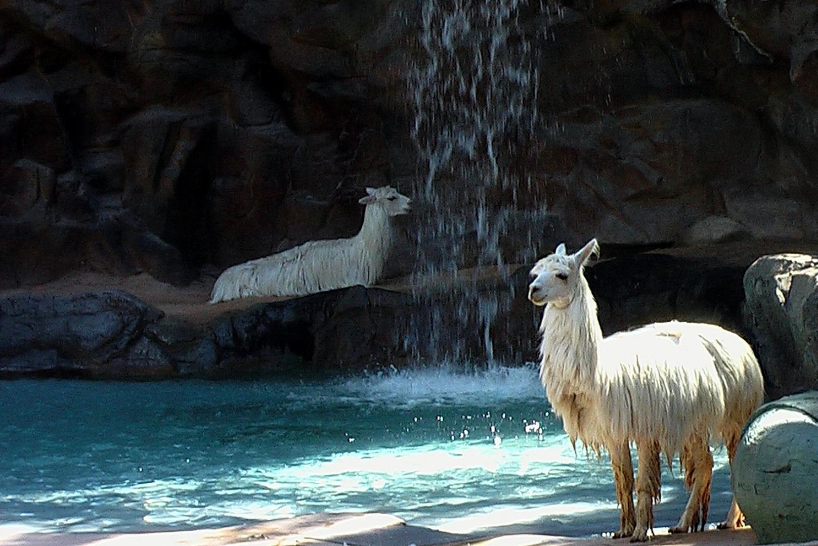 bain des lamas !