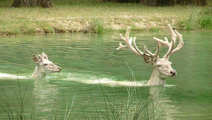 Bains de cerfs blancs