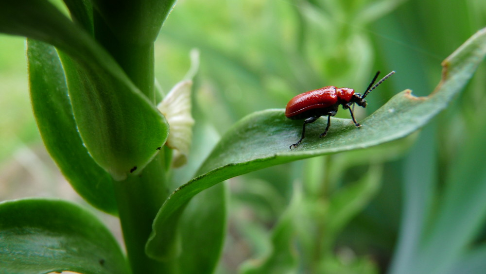 Balade du scarabé rouge