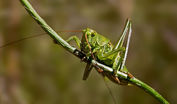 Balanceakt einer grünen Heuschrecke