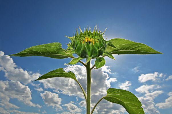 bald blühen wieder die Sonnenblumen