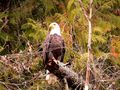 COM: Bald Eagle von Jutta Ploessner