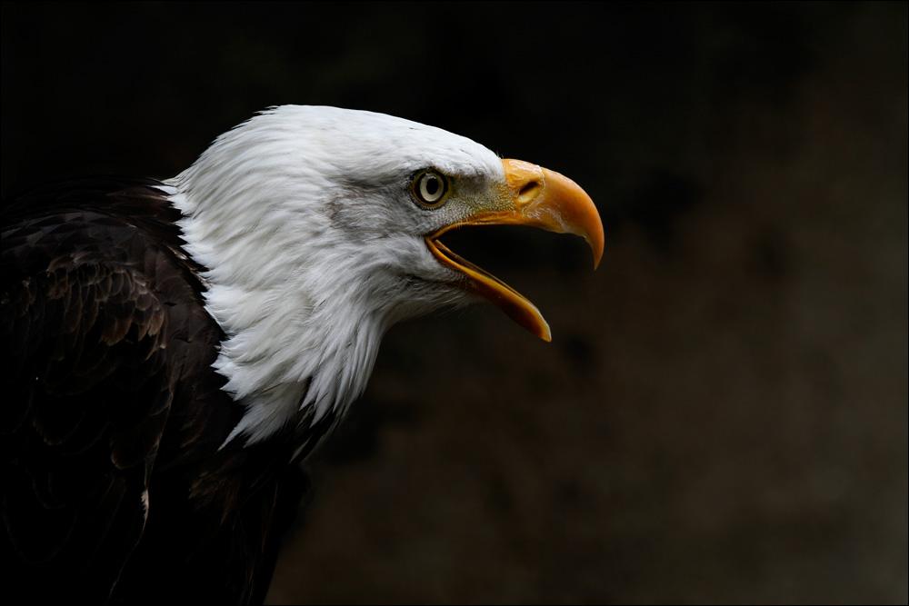 ° bald eagle °