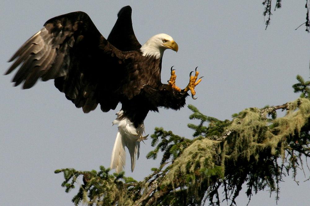 Bald Eagle, Pacific Rim N.P.
