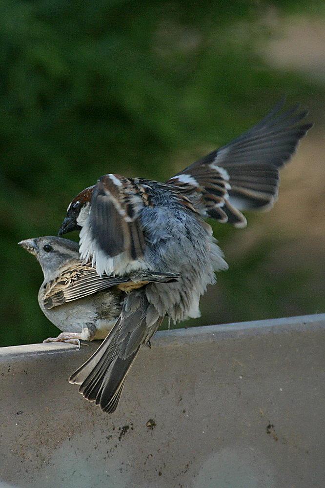 Bald gibts junge Sperlinge