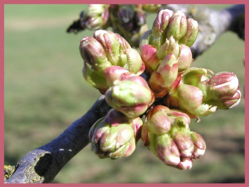 Bald ist´s soweit (Kirschblüten)