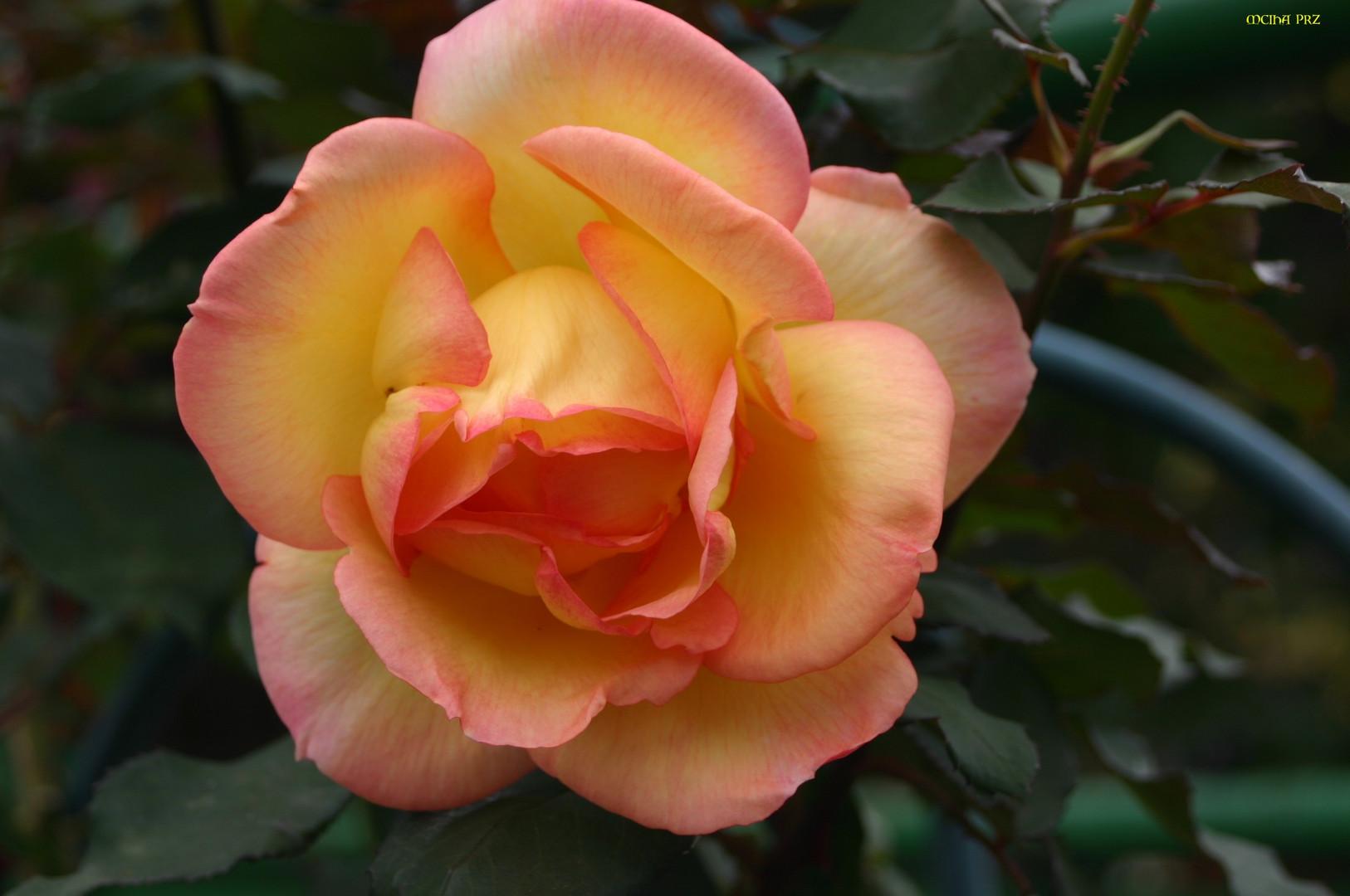 bald nun ist Rosenzeit